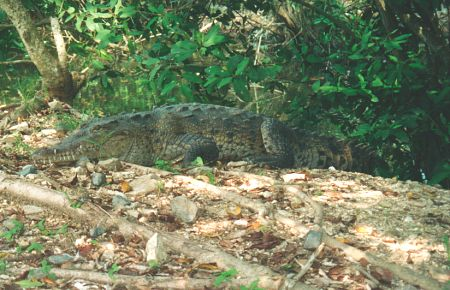 Crocodile in La Ropa estuary, Zihuatanejo, Mexico