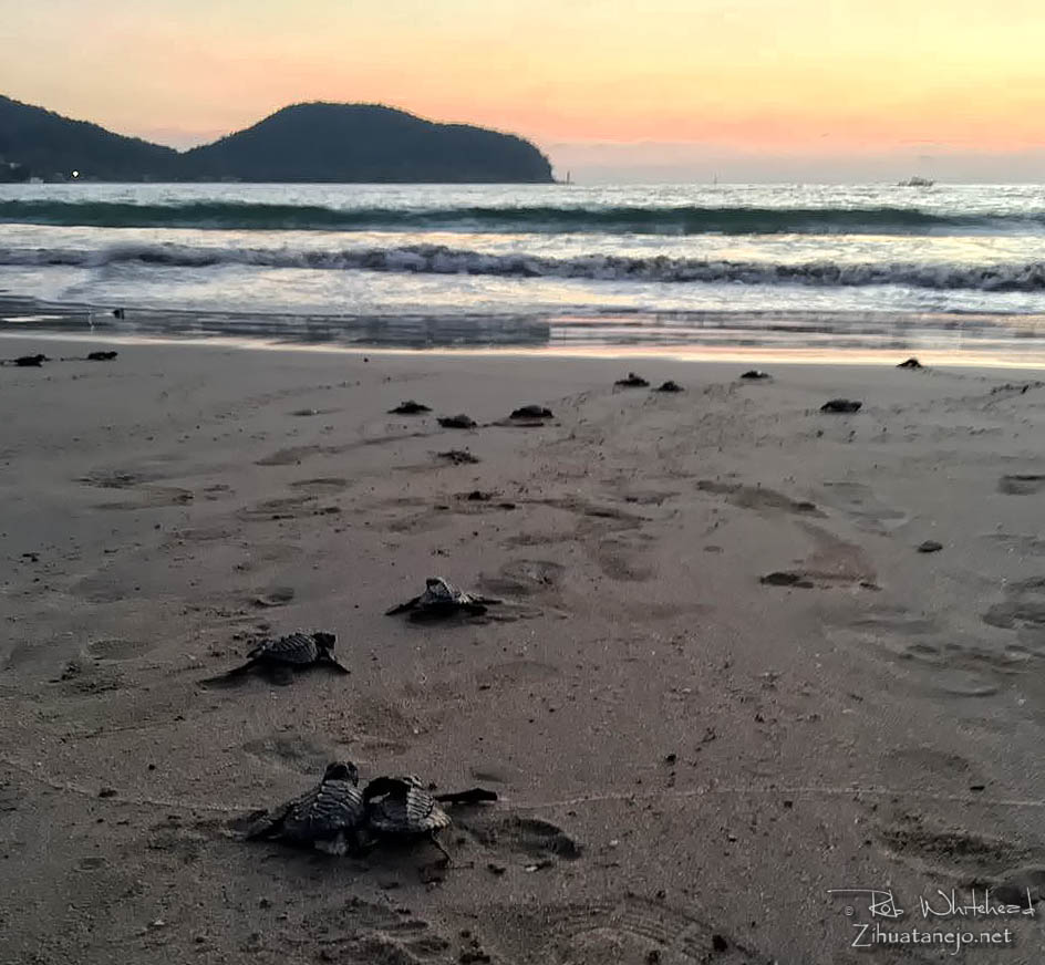 Sea turtle hatchlings at La Ropa Beach, Zihuatanejo